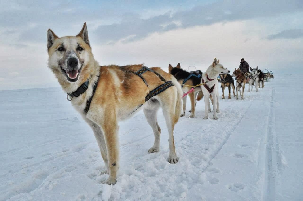 Универсальный лидер Винстон и его большая команда покоряют байкальские зимние просторы