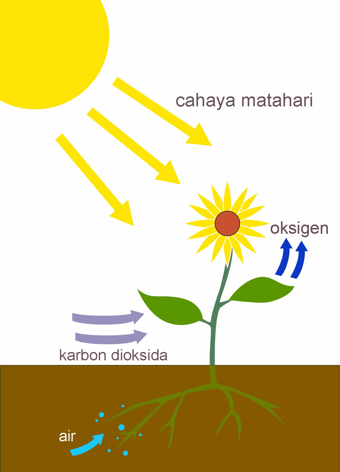Fotosintesis y sus etapas 33