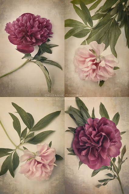 Antique Peonies Set of four images by Suzanne Goodwin Copyright 2013