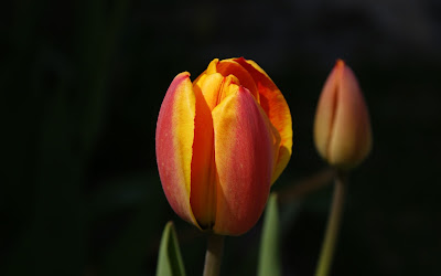 Nature flower wallpaper - Tulips