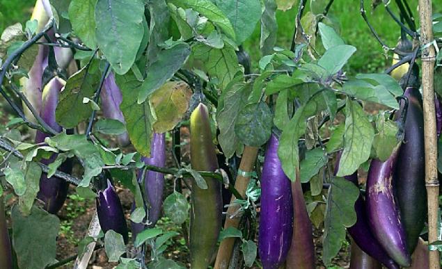 Cara Budidaya Terong Di Lahan Pertanian