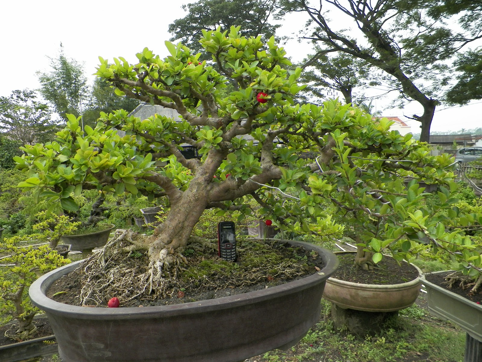 GALERY BONSAI MALANG SIANCI PART 2
