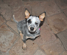 Nikkita mi australian Cattle Dog