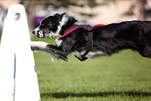 BRIT- Scenthurdle Dog MASTER
