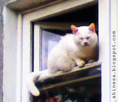 белая кошка, белая кошка в окне, кошка на форточке