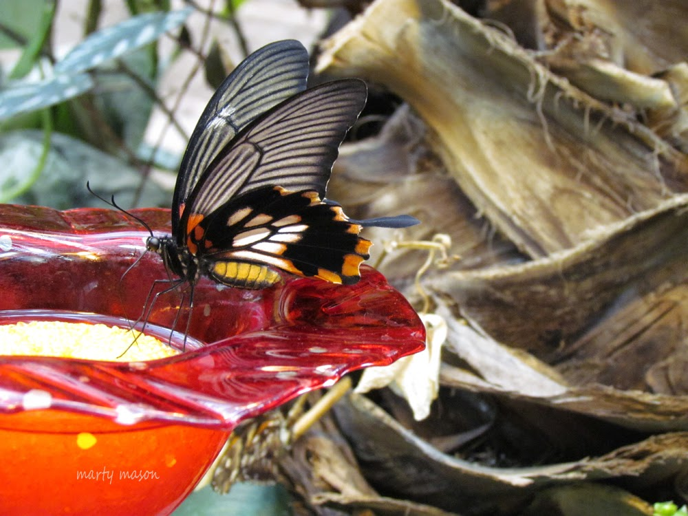 Butterfly Sipping