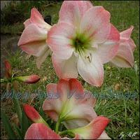 Amarilis ou Açucena. Flor altiva e elegante