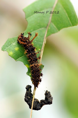 Caterpillar of Commander Butterfly