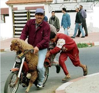 funny picture: transport of sheep on motorcycle