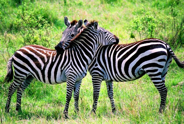 All About Animal Wildlife Zebra Photos Images And Facts 2012