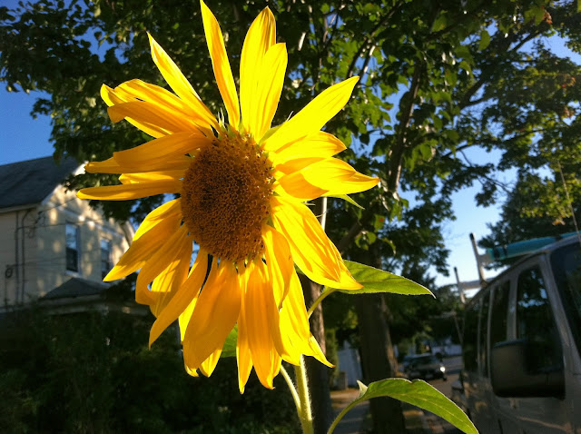 Sunflower-in-Farmingdale,NY