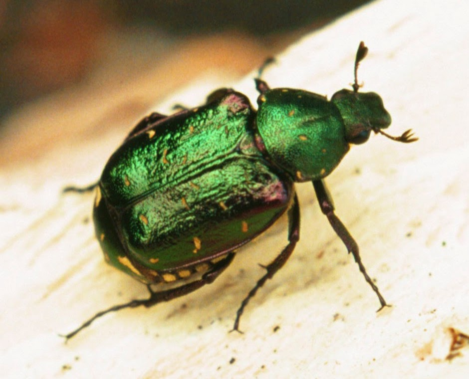 http://ptes.org/campaigns/traditional-orchards-wildlife/noble-chafer-beetles/
