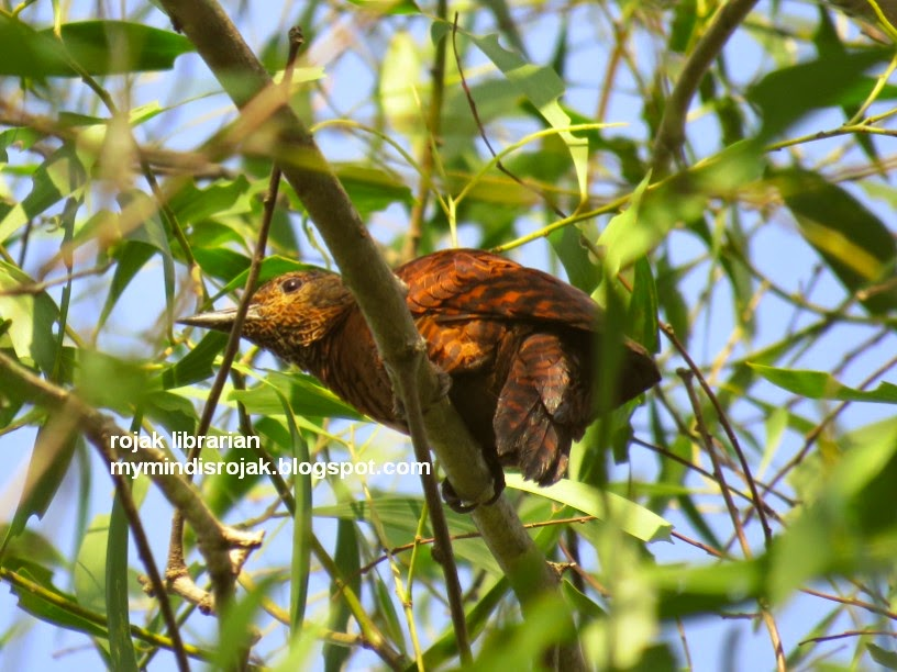 Rufous Woodpecker in Tampines Echo Green