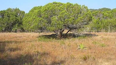 cedro de montaña Juniperus ashei