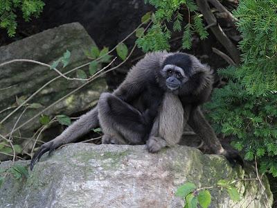 Foto Gibbon Kalimantan atau Owa-Owa