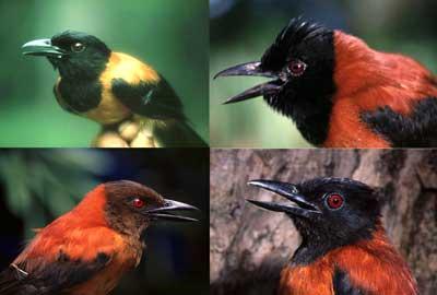burung beracun