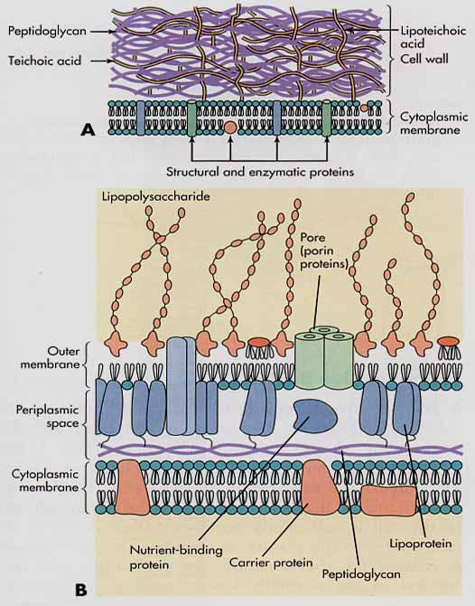Bacterial morphology contd fig b gram negative cell wall a gram positive cell wall ccuart Gallery