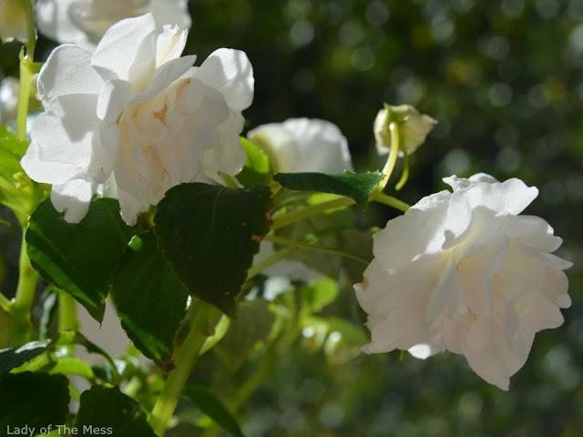 valkoinen kukka, white flower