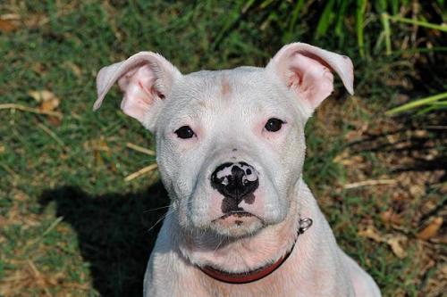 White boxer pitbull mix puppies raising a bull boxer pit