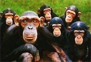 Осиротевшие шимпанзе