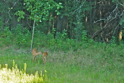 early August, fawns wearing spots