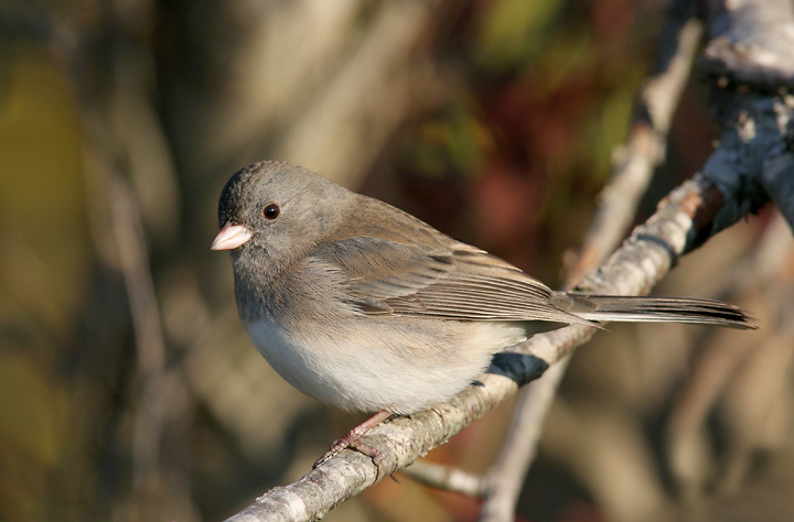 Birding with Buckley: Dark-eyed Juncos