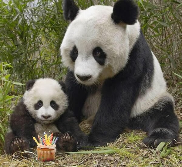 Funny animals of the week - 28 February 2014 (40 pics), baby panda and his mommy