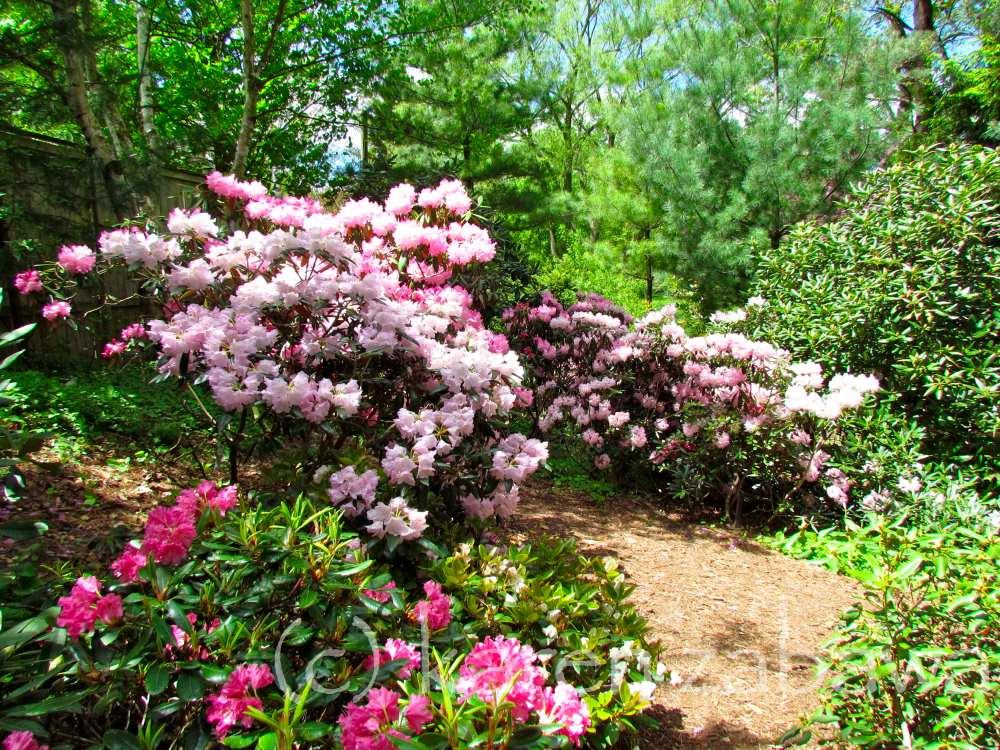 Brueckner Rhododendron Gardens Japanese Cherries Apple