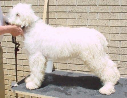 Komondor Puppies Photos Puppies Pictures Online