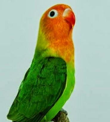 cara pemasteran lovebird agar berkicau variatif