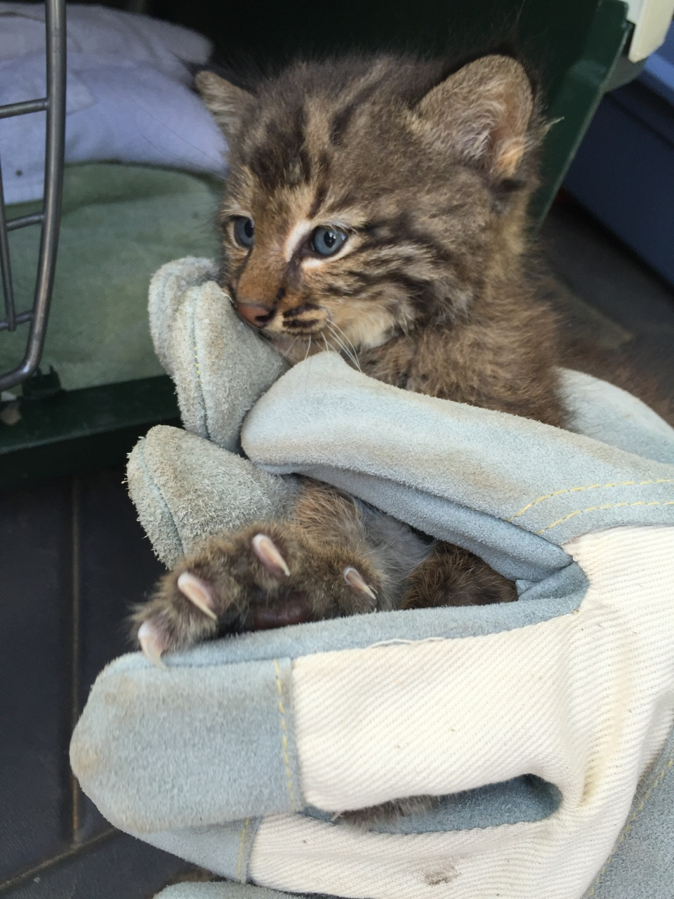 Julie Zickefoose on Blogspot: To Touch a Baby Bobcat