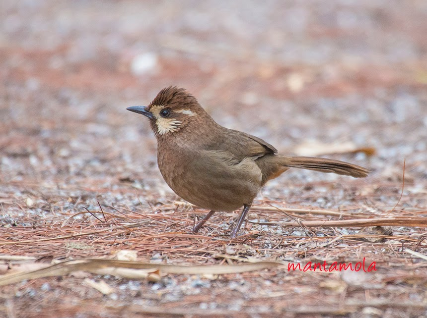White Browed Laughingthrush