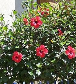 Vivero buenaventura ficha tem tica de rosa de la china - Vivero la rosa del norte ...
