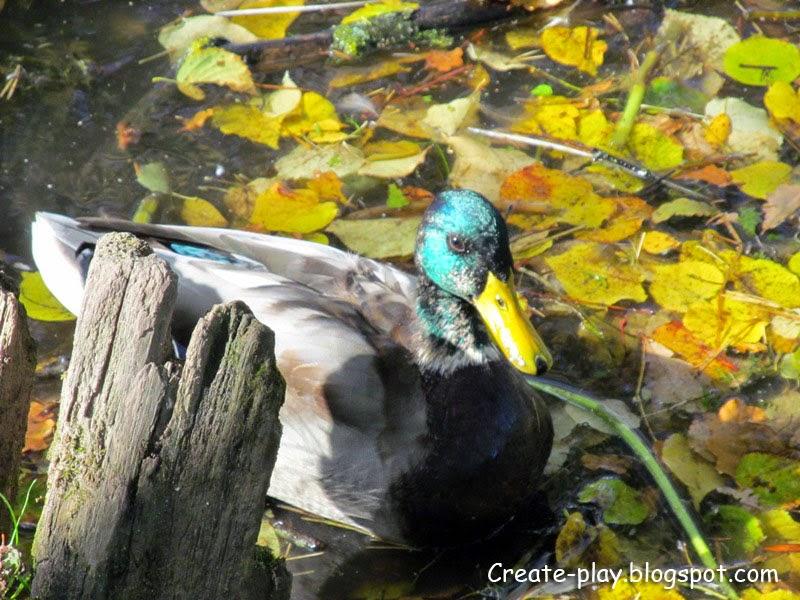 утки Гатчинский парк