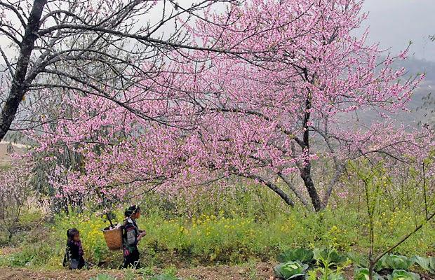Vườn đào Sapa