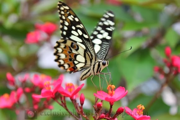 Foto Kupu Kupu Cantik dan Indah