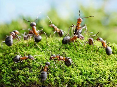 Repellents natural and economic for ants Recipe in english insect garden or rosebush kitchen