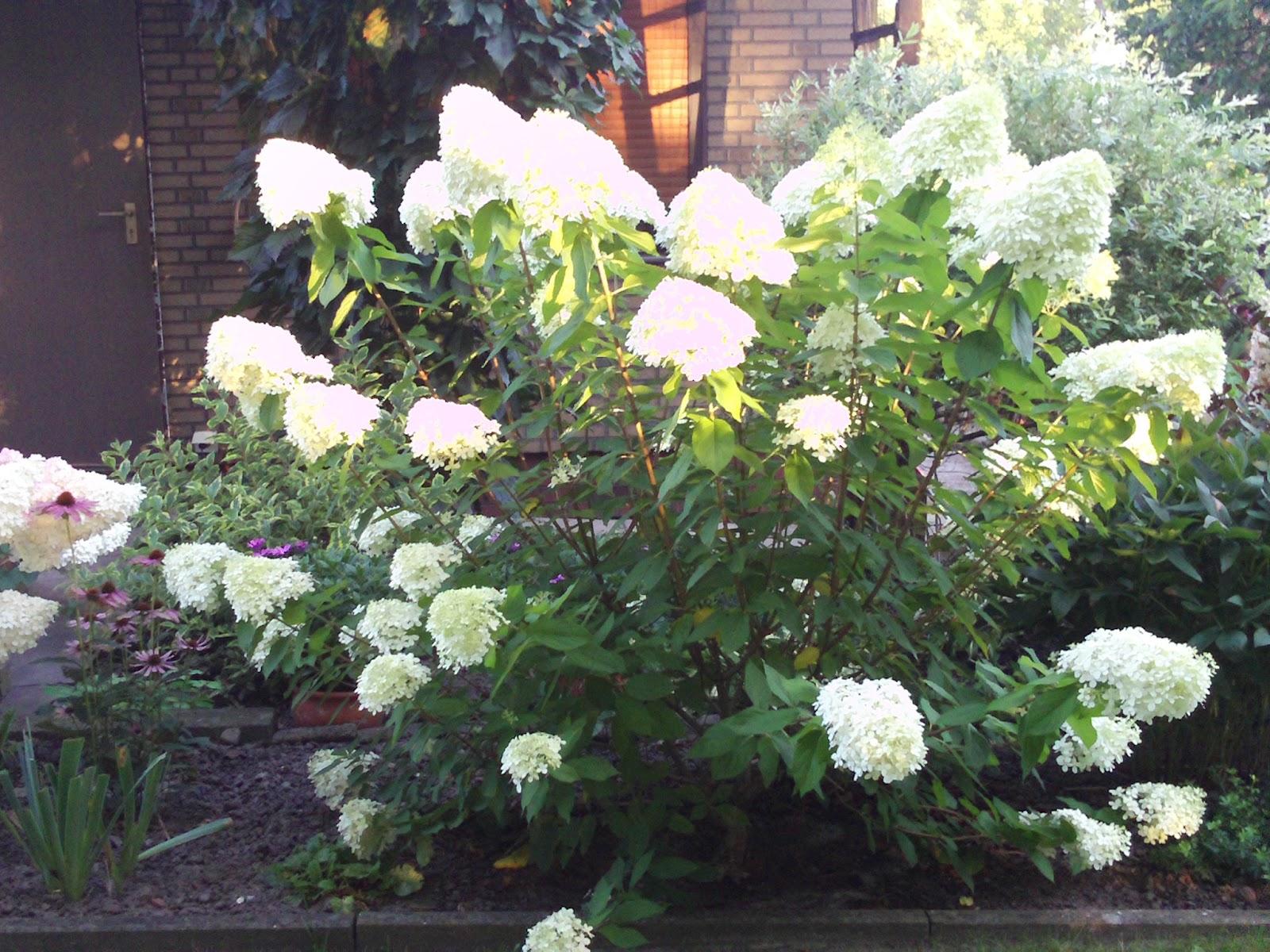 hydrangea paniculata limelight rispenhortensie. Black Bedroom Furniture Sets. Home Design Ideas