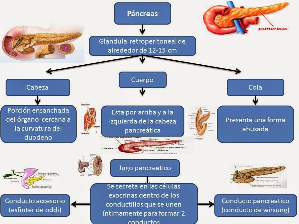 El Blog de Fisiologia de Israel Aramburo Lucas: Pancreas: abordare ...