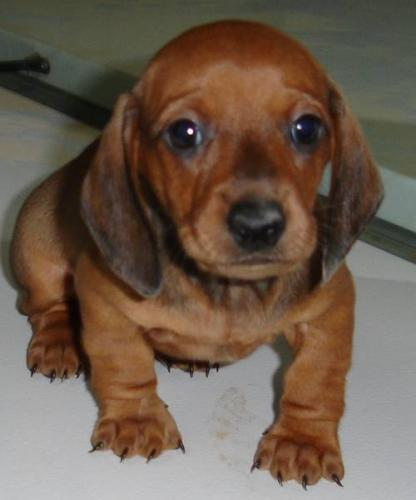 Cute Puppy Dogs: miniature dachshund puppies