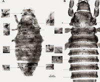 http://sciencythoughts.blogspot.co.uk/2014/04/fossil-thrips-from-early-eocene-of.html