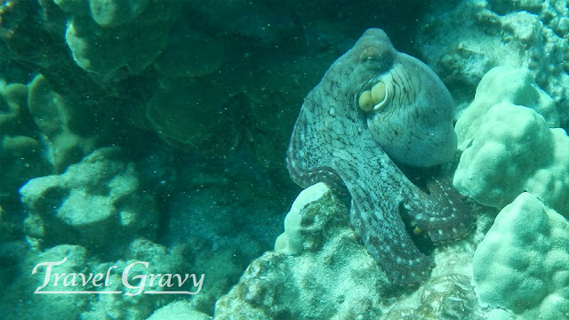 3 of 5 Day Octopus often found in Hawaiian waters. Photos by Bill Edwards (c) 2013