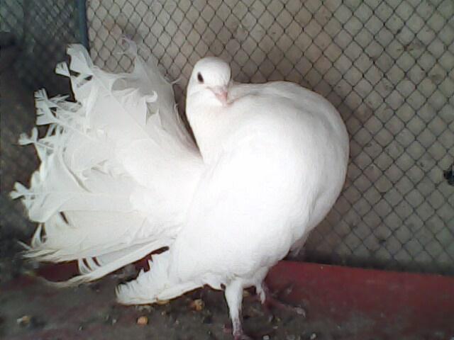 Bazigar Pigeon: Fancy pigeons