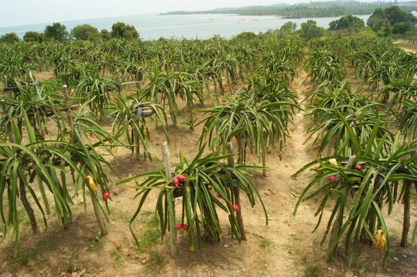 pin dragon fruit tree for sale on pinterest