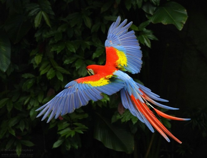 AVES DEL MUNDO... - Página 23 Macaw_3850-660x505