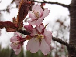 Rusokirsikka kukkii