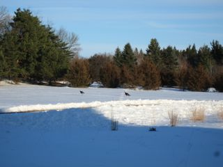 photo of two tom turkeys in a snow field