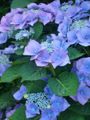 Hortensia