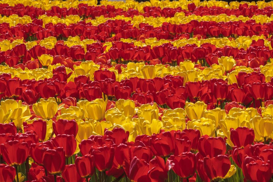 30. Tulip Stripes by Paul Brouns