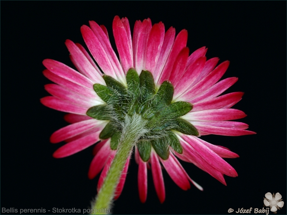 Bellis perennis flower - Stokrotka pospolita kwiat